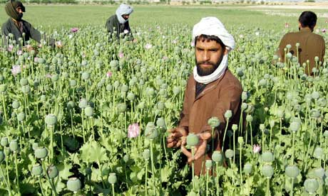 Opium-poppies-in-Afghanis-006